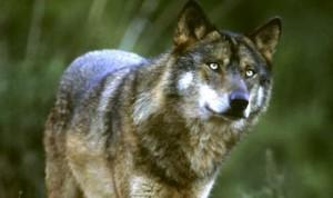 lobo-iberico