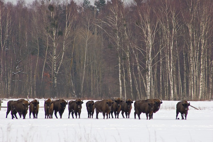 bison-bialowieza-poland-winter-02